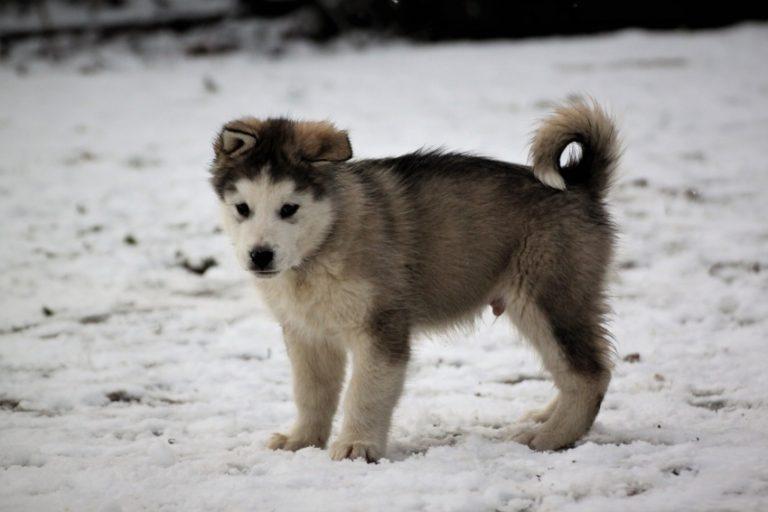 photo malamute de l'alaska chiot