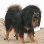 Mastiff chiot
