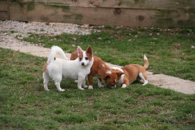 photo chien de garenne portugais – podengo portugais chiot
