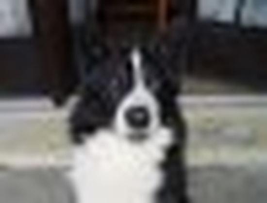 photo chien d'ours de carélie chiot
