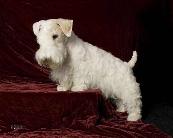 photo sealyham terrier chiot