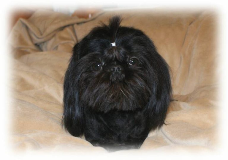 photo shih tzu noir