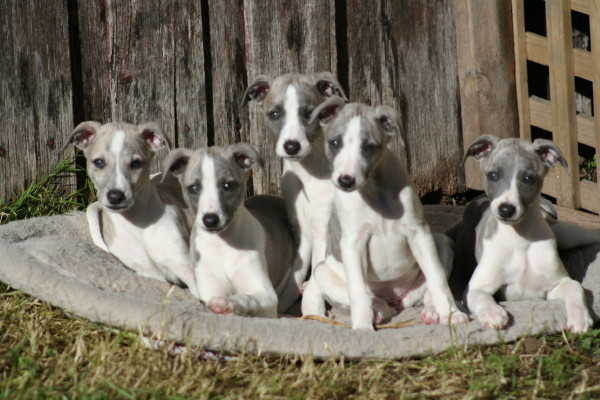 photo whippet chiot