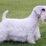 Sealyham terrier chiot
