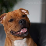 Staffie rouge