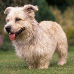 Terrier irlandais Glen of Imaal chiot