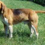 Beagle-harrier chiot