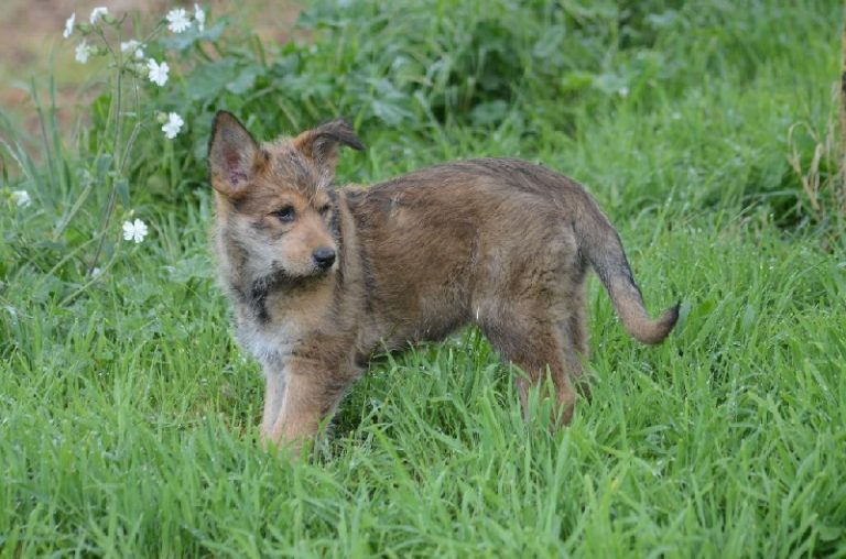 photo berger de picardie chiot