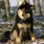 Berger finnois de Laponie chiot