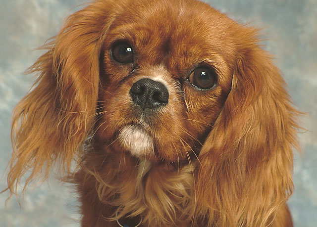photo cavalier king charles rubis