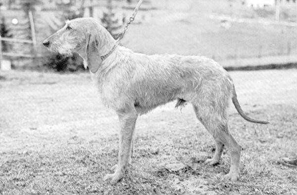 photo chien courant italien à poil dur chiot