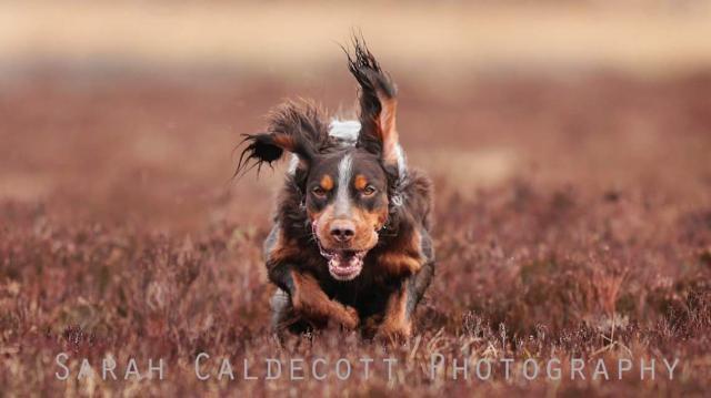 photo chien d'arrêt frison chiot