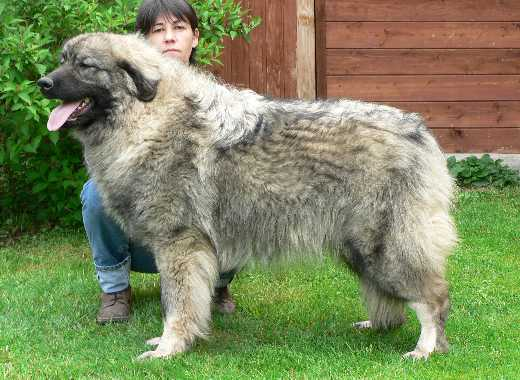photo chien de berger yougoslave de charplanina chiot