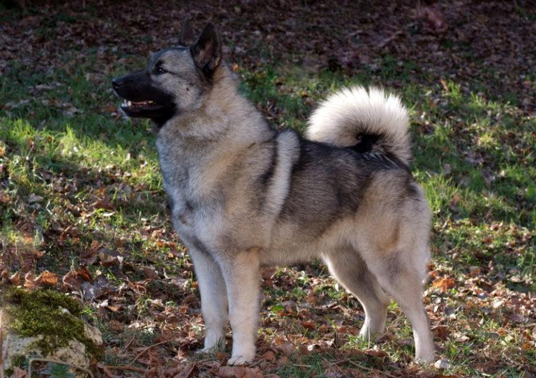 photo chien d'élan norvégien gris chiot