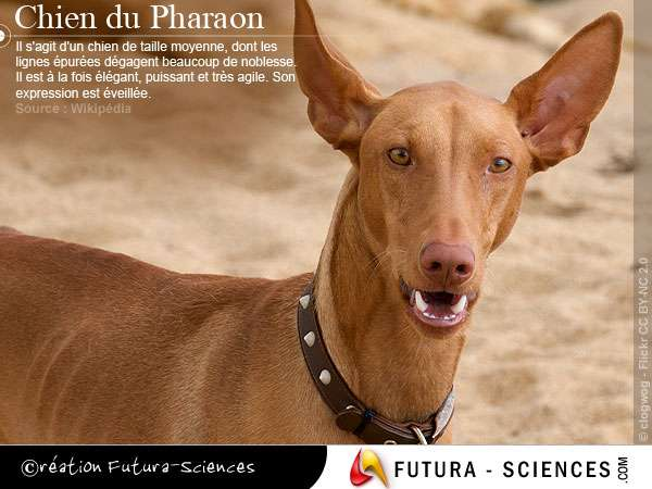 photo chien du pharaon