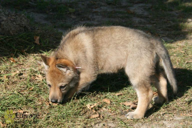 photo chien loup tchécoslovaque chiot