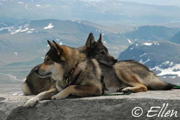 photo laïka de sibérie orientale
