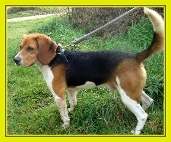 photo beagle-harrier chiot