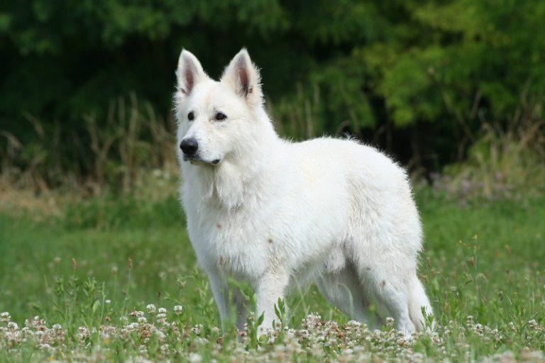 photo berger blanc suisse