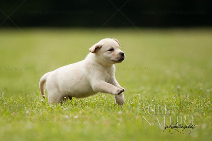 photo chien courant de halden chiot