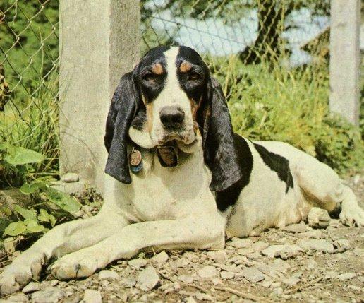 photo chien courant suisse, schweizer laufhund