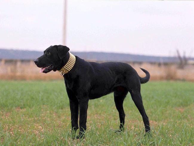 photo chien de berger de majorque