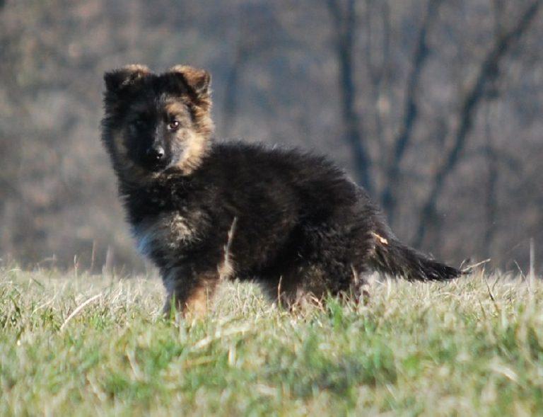 photo chien de berger de majorque chiot