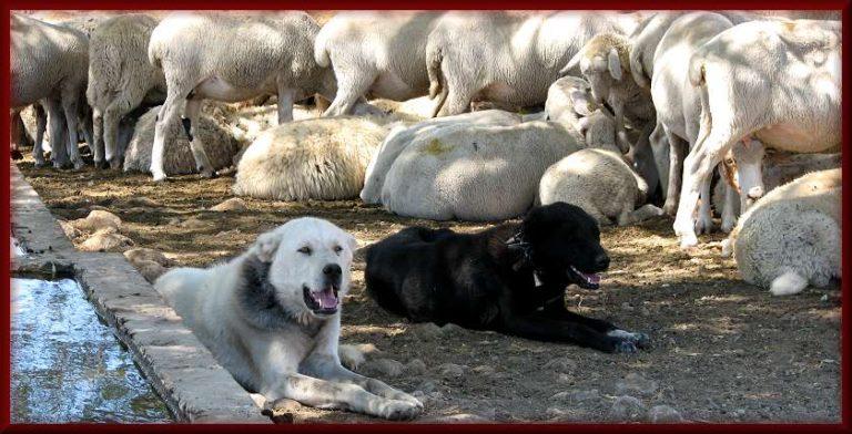 photo chien de berger turc chiot