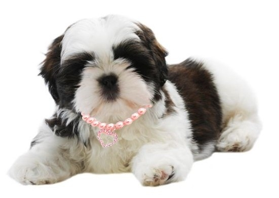 photo shih tzu nain