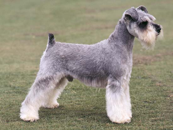 photo schnauzer