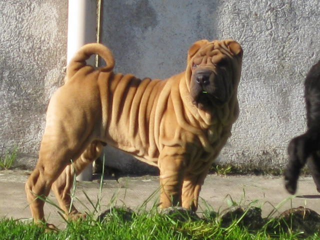 photo shar-pei chiot
