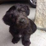 Skye terrier chiot