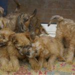 Terrier irlandais chiot