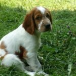 Welsh springer spaniel chiot