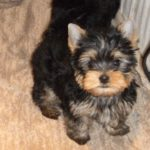 Yorkshire terrier nain
