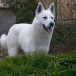 Berger blanc suisse poil long