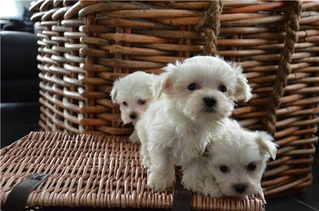 photo bichon maltais chiot