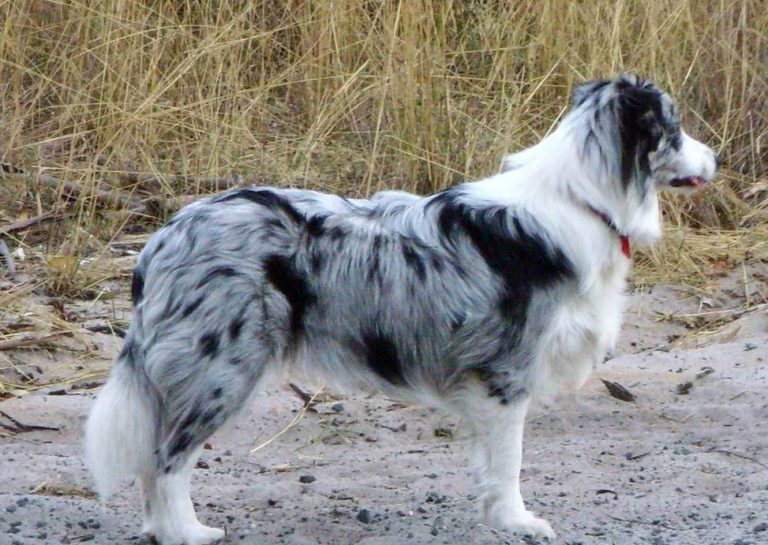 photo border collie merle
