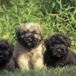 Bouvier des Flandres – Vlaamse Koehond chiot