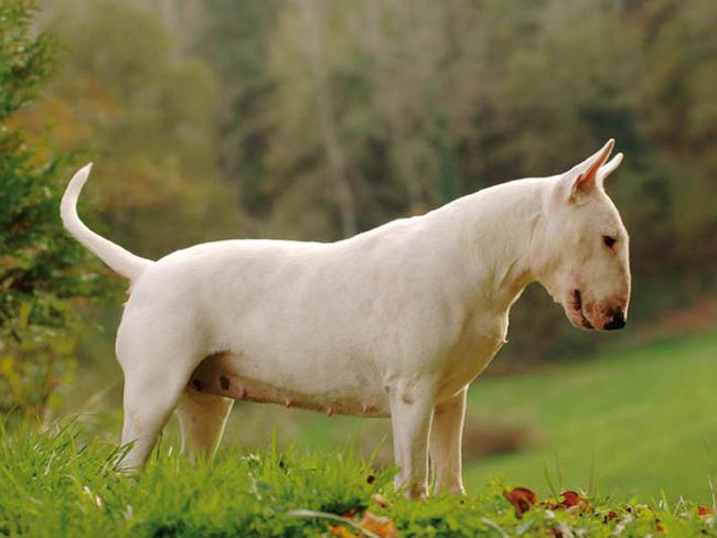 photo bull terrier chiot