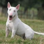 Bull terrier chiot