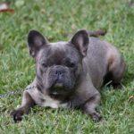 Bulldog francais bleu