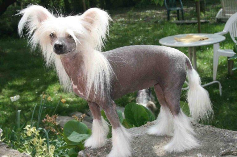 photo chien chinois à crête