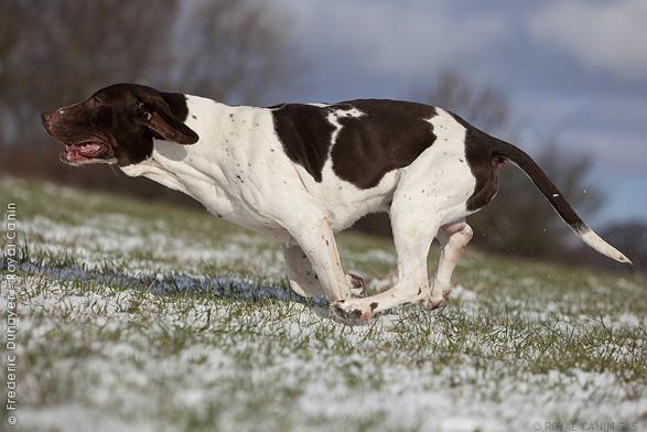 photo chien d'arrêt danois ancestral chiot