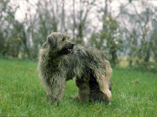photo chien de berger catalan chiot