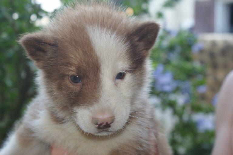 photo chien du groenland chiot