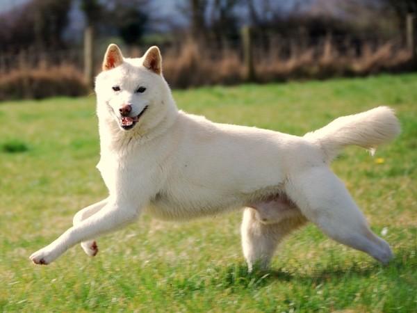 photo chien jindo coréen