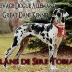 Dogue allemand arlequin