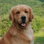 Golden retriever marron