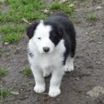 Border collie chiot